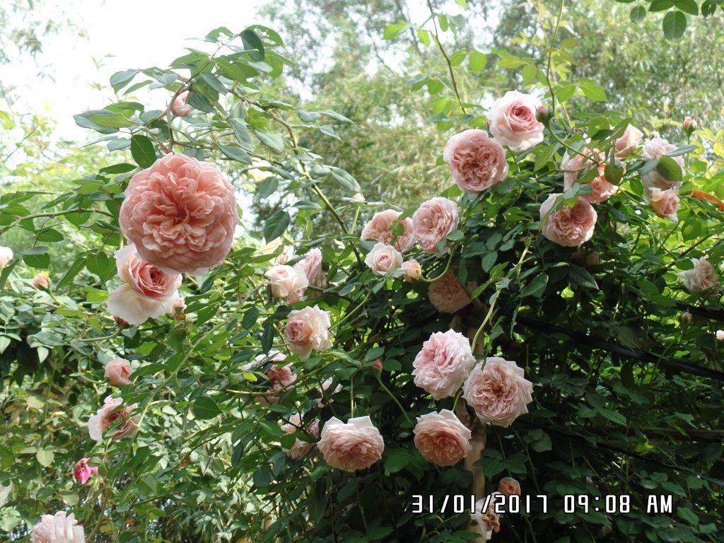 Hoa hồng Abraham Darby rose có hương thơm rất ngọt ngào vào những buổi sáng sớm