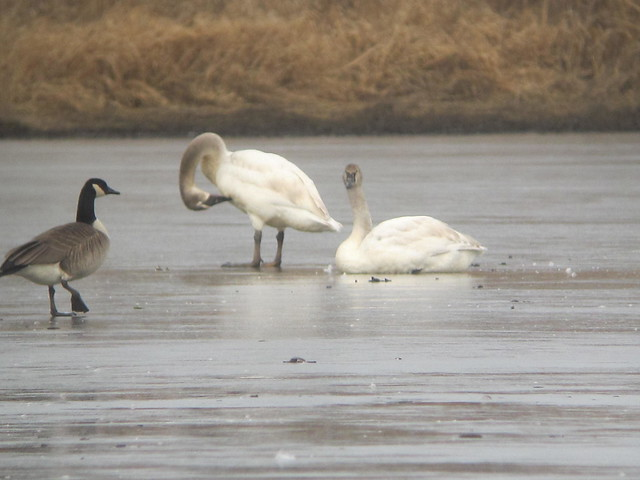 Trumpeter Swans by Russ, Canon POWERSHOT SD4000 IS