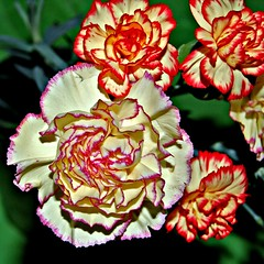 Carnations...