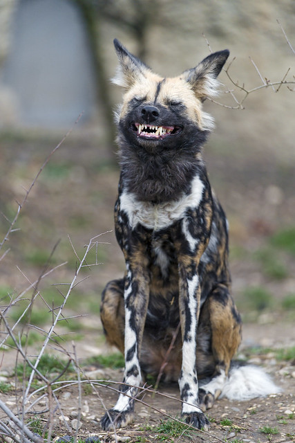 African wild dog finishing to yawn
