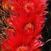 Three Barrel Cactus Flowers