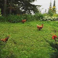 The chickens are out on a field trip on this foggy August morning. #tbay #fryed365
