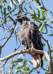 Red-tailed Hawk, dark morph (Buteo jamaicensis)