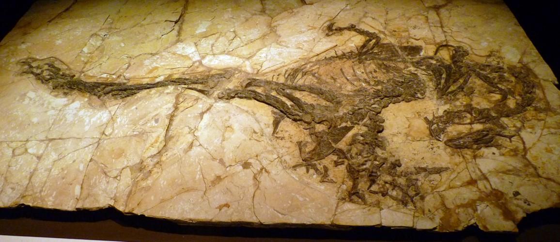 Caudipteryx zoui 22638977680_0b21bea9c8_o
