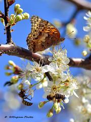 Varigated Fritillary Butterfly (Euptoieta claudia)