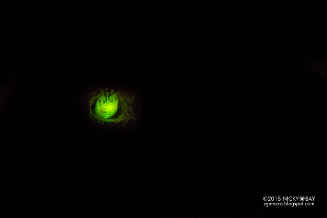 Bioluminescent click beetle larva (Pyrearinus sp.) - DSC_1008