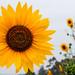 大笑的臉龐 The smiling sun by Melissa Kung