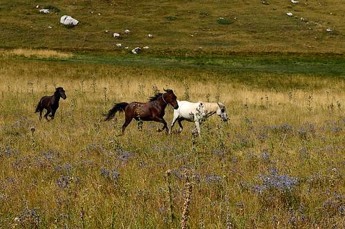 Pindos horses
