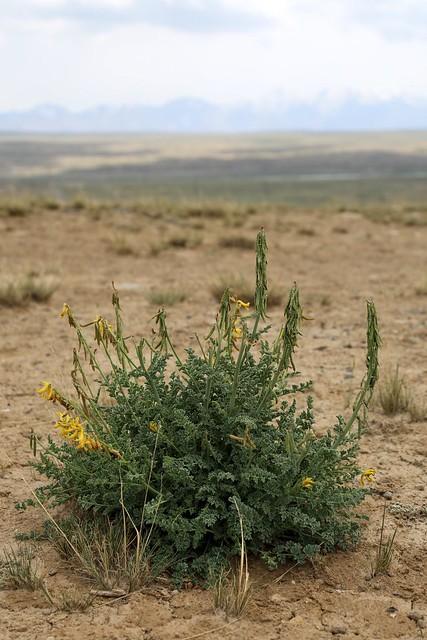 Corydalis stricta (Fumariaceae)