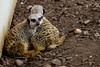 Meerkat-6918