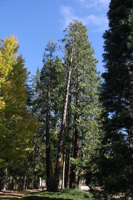 Thuya géant de Californie