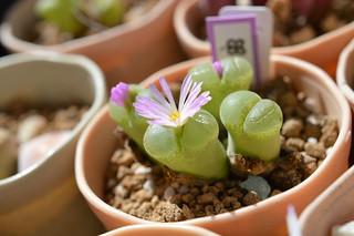 DSC_0352 Conophytum(=Ophthalmophyllum) lydiae f.harmoepense