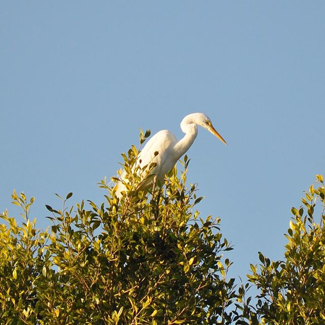Visiting today, an Eastern Great Egret...