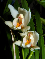 Cymbidium pseudoballianum species orchid 11-15