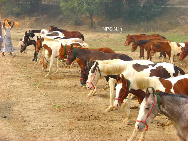 Animal Fair: Horse Fair: Sense of discipline in queue in Cattle / Animal Fair