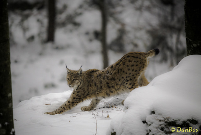 Lynx in the winter snow forest