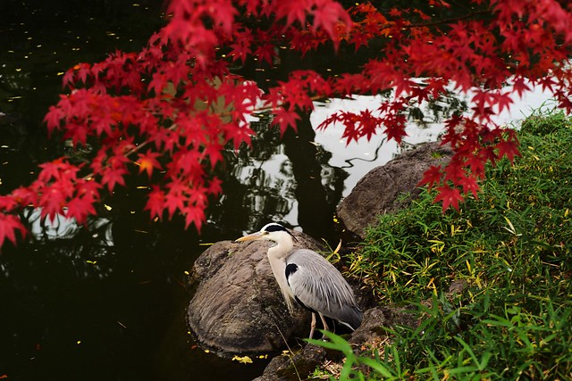 Ardea cinerea and autumnal leaves