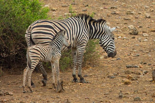Mama and baby zebra