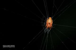 Orb weaver spider (Araneidae) - DSC_5811