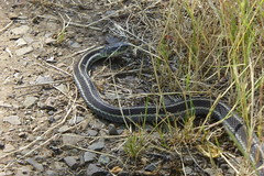garter snake, snoqualimie valley trail near Carnation, WA_06172016