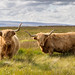 Pair of Highland Cattle - EXPLORED by MarkLG1973