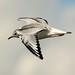 Bonaparte's Gull by crmchees