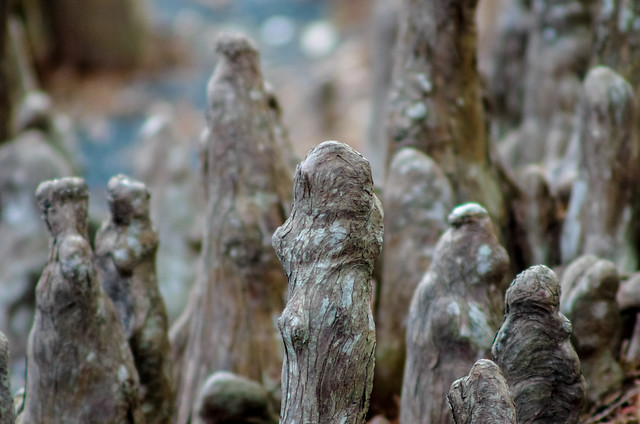 Cedar knees