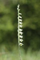 Autumn Lady's-Tresses - Spiranthes spiralis