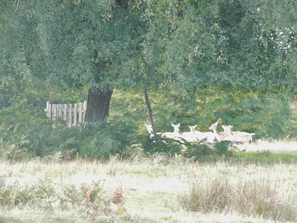 Deer Borough Green to Sevenoaks