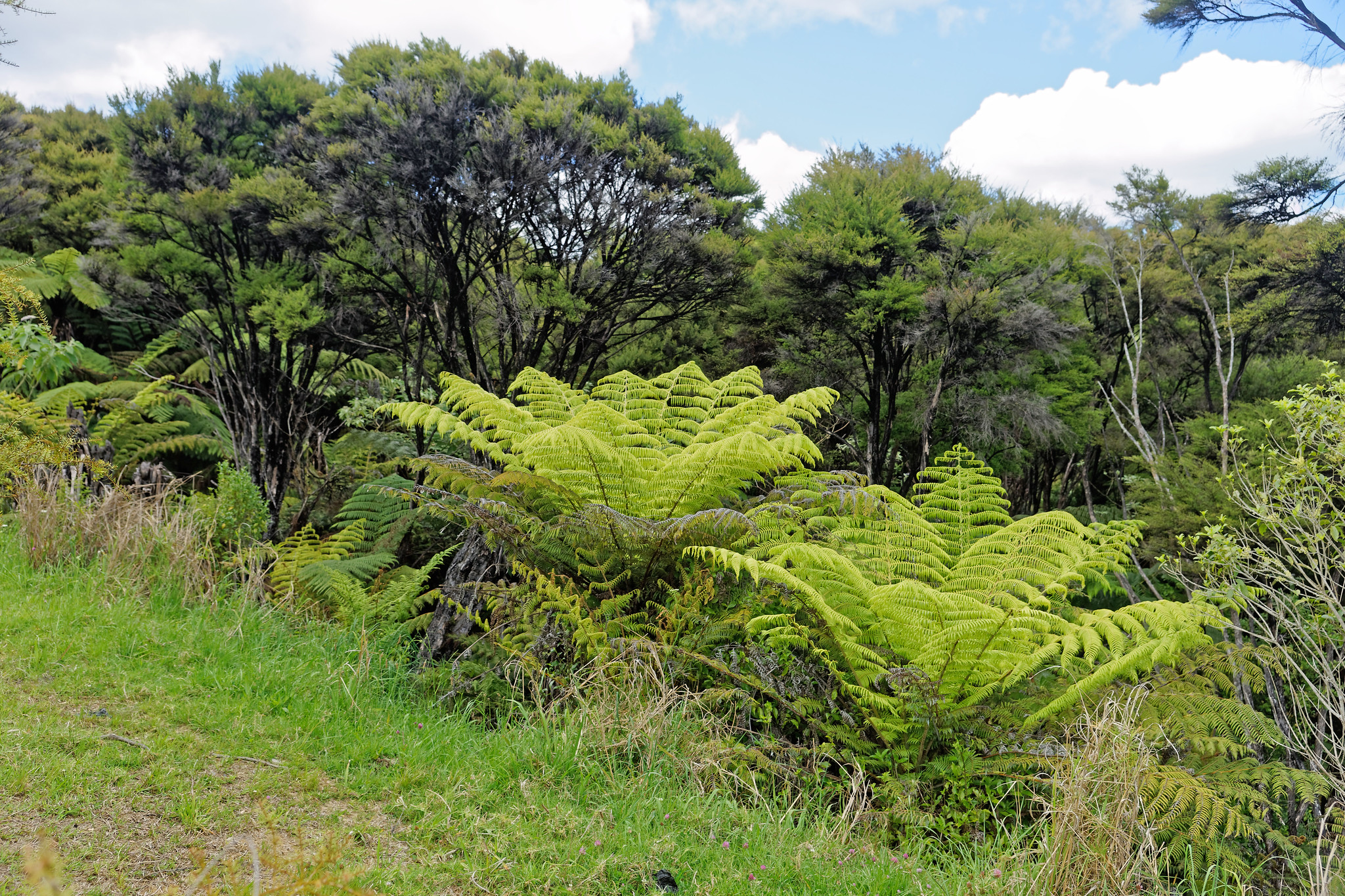 Ferns in Manawaora