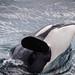 Orca Broach by JimFeet
