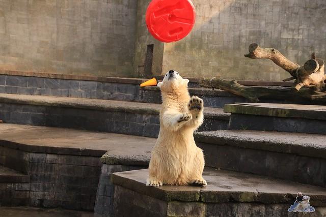 Eisbär Fiete im Zoo Rostock 31.10.2015 Teil 1  054