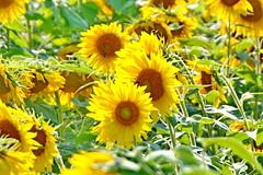 Sunshine Field (SUNFLOWERS) 05