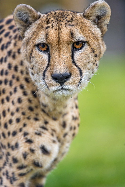 Serious cheetah looking at me