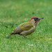 Green Woodpecker (M) by grahamnichols47