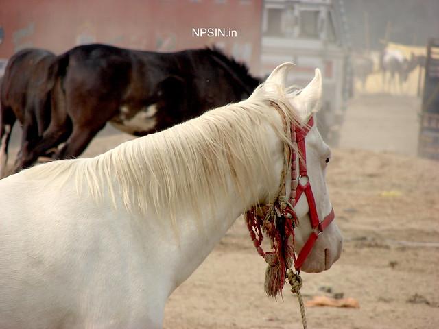 Animal Fair: Horse Fair: Beauty of white silk