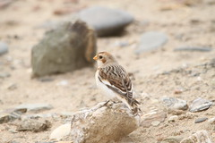 Snow Bunting, Gwithian 2015