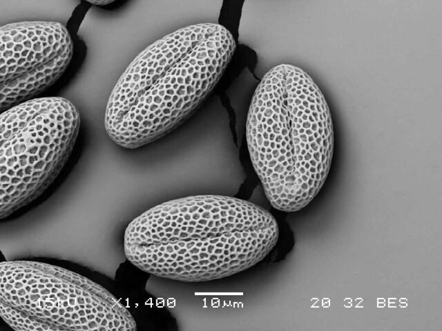 field mustard pollen