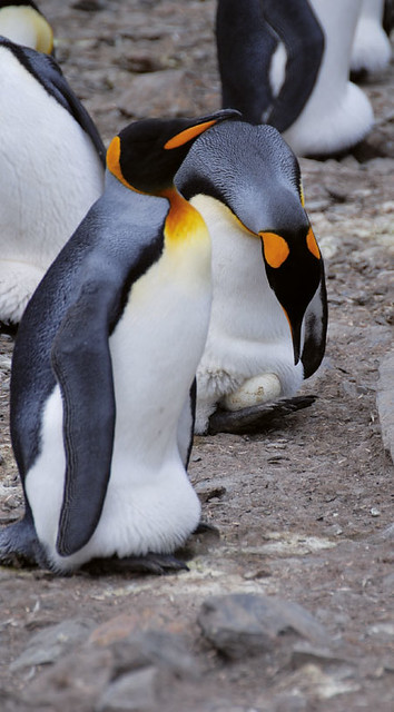 King-penguins-incubating-eggs