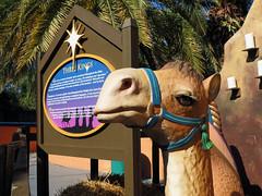 The Three Kings' Camel