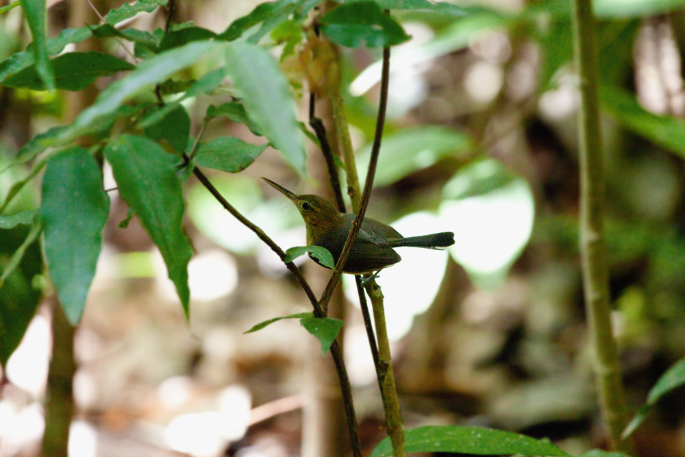 Длинноклювая славка (Ramphocaenus melanurus)