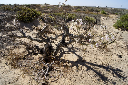 Pelargonium adriaanii, plant