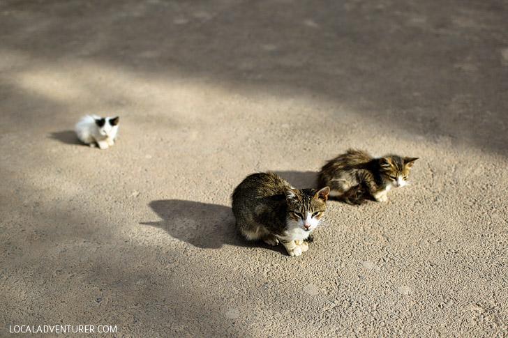 Cats of Morocco at the Bahia Palace Marrakech Medina.