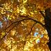 Beneath a canopy of gold by trochford
