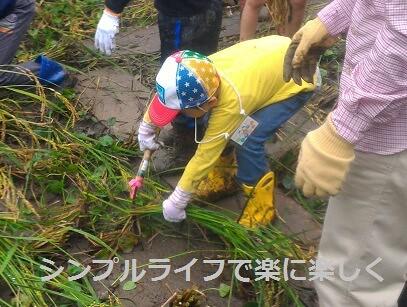稲刈り・脱穀、稲刈り