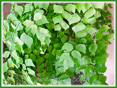 Adiantum trapeziforme (Giant Maidenhair, Diamond Maidenhair, Trapezoidal Maidenhair) with graceful arching fronds, July 9, 2014