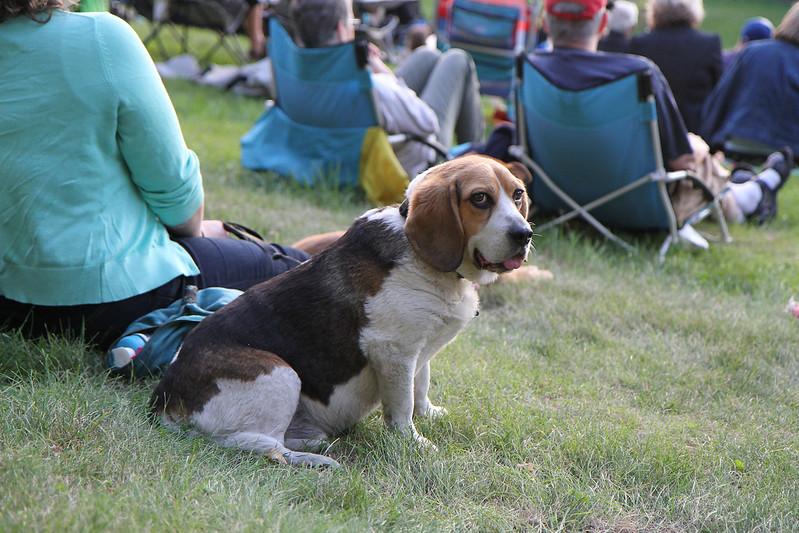 folk festival beagle