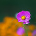 20150731_garden flowers_0120ee