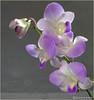 Orchids-5