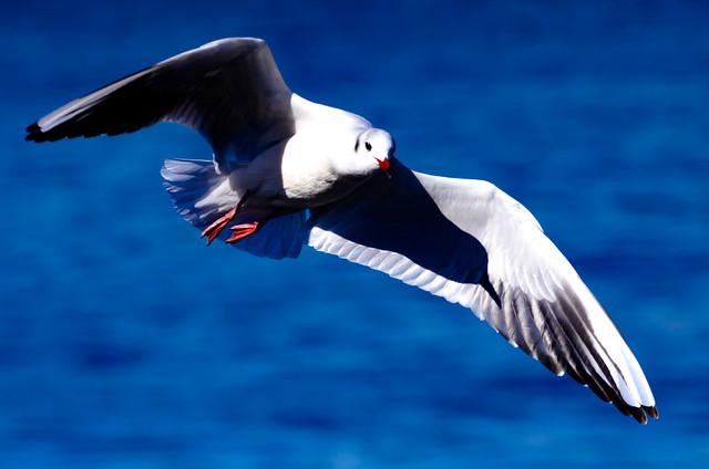 Black-headed Gull Flying on The Sea : 横浜港を飛翔するユリカモメ
